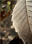Dried Leaf in Macro