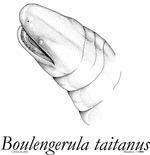 Boulengerula (caecilian)
