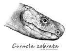 Corucia