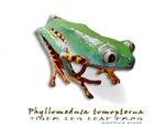 Phyllomedusa tomopterna