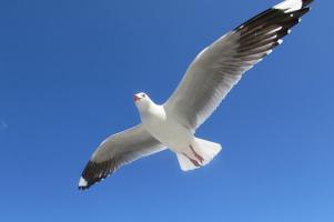 Seagull Flies