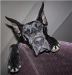 Black Great Dane Puppy  Skins and Cases