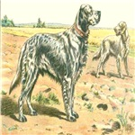 English Setter Mahler 1907 Digitally Remastered