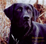 Black Labrador Photographs