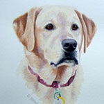 Sophie, Yellow Labrador