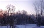Whitetail Deer Winter