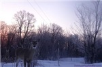 Frosty Whitetail Deer