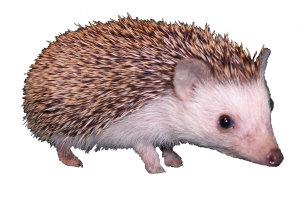 Davis the Hedgehog