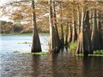 Cypress Trees on the St. Johns River.
