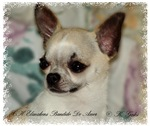 Fawn Chihuahua Head Study