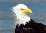 Wild Bald Eagle Close Up Head