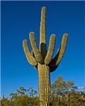 Southwestern Saguaro 3997