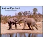 African Elephants Photo