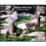 Markhor Wild Goat Photo