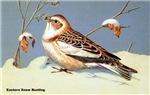 Eastern Snow Bunting Bird