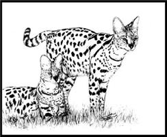 Two Servals in grass