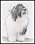 Bearded Collie - Multiple Illustrations