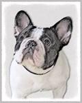 French Bulldog (Brindle Pied)