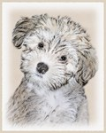 Havanese-Multiple Illustrations