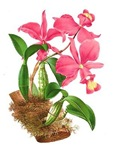 Pink Cattleyea Orchid