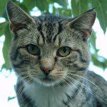 Brown Tabby Cat Face