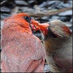 Red Cardinals Kissing In The Rain