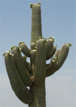 Saguaro in Bloom