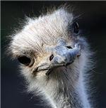 Ostrich Gifts