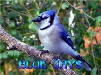 <b>BLUE JAY WALL CALENDAR</b>