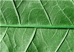 Veined green leaf
