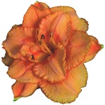 Coral Double Daylily