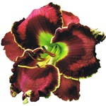 Dark Purple Daylily