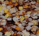 Autumn Fallen