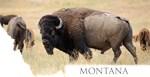 Montana- American Bison