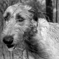 Irish Wolfhound Shop!