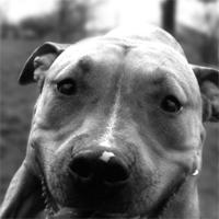 Pit Bull Terrier Shop!