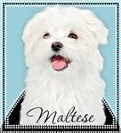 Cute Maltese