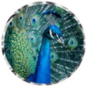 Peacock calendars
