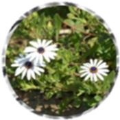 African daisies 1058