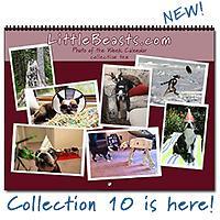 Boston Terrier Calendars - Photo of the Week