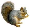 Peace Squirrel