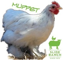 Muppet the Rooster