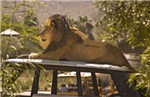 Lion on a Car