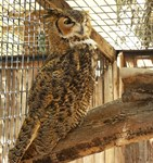 The Zoo Owl Line