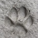 Gray Fox Track