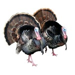 Wild Turkey Pair