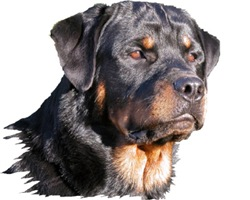 Quill the Rotti