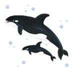 Killer Orca Whale