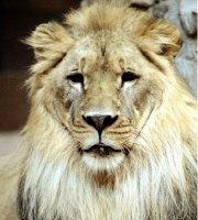 Lion Merchandise
