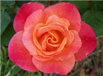 Gorgeous Joseph's Coat Rose